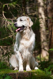 Golden Retriever Portrait. Golden Retriever posed in the woods royalty free stock photos