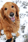 Golden retriever portrait at snow Royalty Free Stock Images