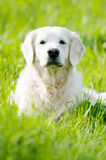 Golden Retriever portrait in summer Royalty Free Stock Photography