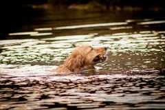 Golden retriever portrait swimming in the water. retrieve Stock Image
