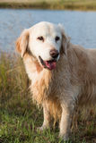Golden retriever. Portrait with wet hair royalty free stock images