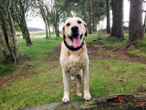 Golden labrador portrait Royalty Free Stock Photography