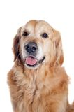 Golden retriever portret Fotografia Royalty Free