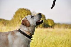 Golden retriever pronto a giocare Fotografia Stock