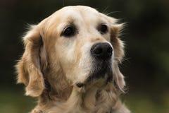 Golden retriever psia głowa w ogródzie obraz royalty free