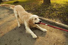Golden retriever pulling rope Stock Images