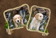 Golden Retriever pup Stock Photo