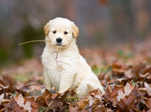 Golden Retriever Pup. Stock Photo