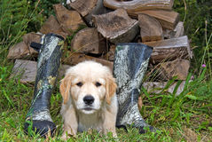 Golden Retriever pup with boots Royalty Free Stock Photography
