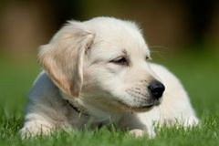 Golden retriever pup in het gras stock image