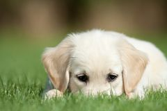 Golden retriever pup hides his nose  in the grass royalty free stock photography