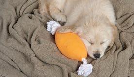 Golden Retriever Pup Royalty Free Stock Photo