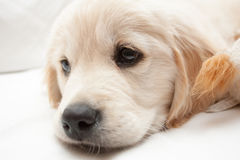 Golden Retriever pup white Royalty Free Stock Photos
