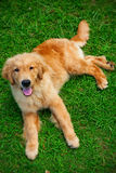 Golden Retriever puppie Royalty Free Stock Photo