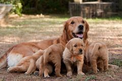 Golden retriever puppies Stock Image
