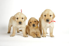 Golden retriever puppies Royalty Free Stock Photos