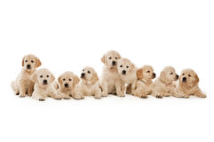 Golden Retriever Puppies Royalty Free Stock Photo