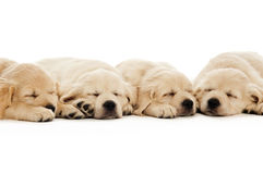 Golden Retriever Puppies Royalty Free Stock Photography