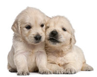Golden Retriever puppies, 4 weeks old. In front of white background Royalty Free Stock Photos
