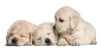 Golden Retriever puppies, 4 weeks old. In front of white background Royalty Free Stock Photography