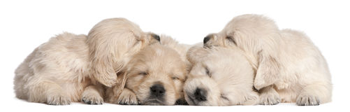 Golden Retriever puppies, 4 weeks old, asleep. In front of white background Royalty Free Stock Images