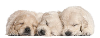 Golden Retriever puppies, 4 weeks old, asleep Stock Images