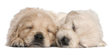 Golden Retriever puppies, 4 weeks old, asleep. In front of white background Royalty Free Stock Photos