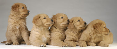 Golden Retriever Puppies. Look away from camera Stock Photography