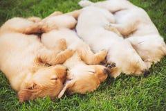 Golden Retriever Puppies Royalty Free Stock Image