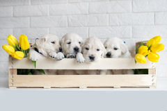 Golden retriever puppies Royalty Free Stock Images