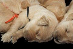 Golden retriever puppies black background Royalty Free Stock Photo