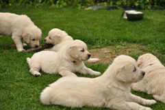 Golden retriever puppies on garden Royalty Free Stock Photos