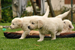 Golden retriever puppies in garden. Golden retriever puppies explore garden Stock Photos