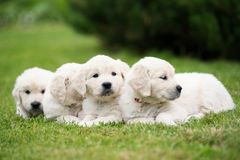Golden retriever puppies on grass Royalty Free Stock Photography