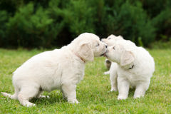 Golden retriever puppies kissing Royalty Free Stock Photos