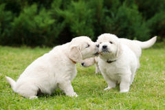 Golden retriever puppies kissing Stock Images