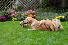 Golden retriever puppies with mother Royalty Free Stock Image