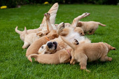 Golden retriever puppies with mother Stock Photos