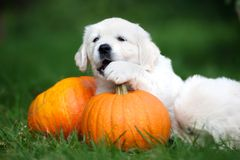 Golden retriever puppy playing with pumpkins outdoors stock photography