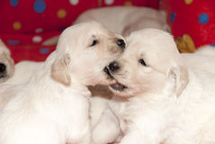 Golden retriever puppies playing. Two golden retriever puppies playing together Stock Photos