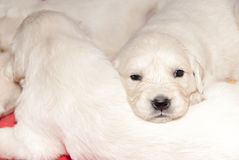 Golden retriever puppies playing Royalty Free Stock Image