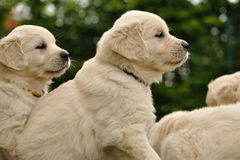 Golden retriever puppies from side. View Stock Image