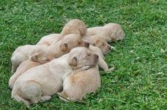 Golden retriever puppies sleeping. Seven golden retriever puppies sleeping on the green grass Royalty Free Stock Image