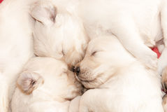 Golden retriever puppies sleeping. Three golden retriever puppies sleeping with their noses together Stock Image