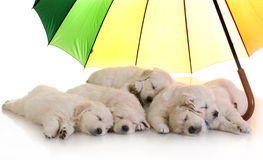 Golden retriever puppies sleeping under a colorful umbrella Stock Photography