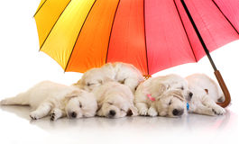 Golden retriever puppies sleeping under a colorful umbrella Royalty Free Stock Photos