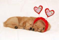 Golden retriever puppies sleeping wearing headband. Two adorable golden retriever puppies sleeping; one wearing headband with hearts saying hugs and kisses Stock Photos