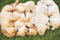 Golden Retriever Puppies Stock Images
