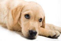 Golden retriever puppy Royalty Free Stock Photos