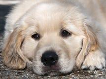 Golden retriever puppy Stock Images